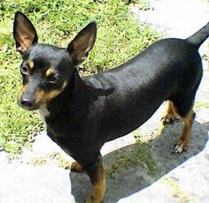 Manchester Terrier.....Buttons!  The very 1st dog I remember my family having as a child!