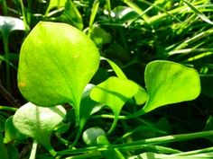 Miner's Lettuce (Claytonia)  Never heard of it, now I gotta try to grow it and eat it! Love those greens!! Thanks Renee!!