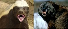 Know comparison, difference and similarity between Wolverine vs Honey Badger. Go further compare Wolverine vs Honey Badger, who will win? Animals Amazing, Honey Badger, Who Will Win, Go Blue, Brown Bear, Wolverine, Wild Animals, Predator, Mammals