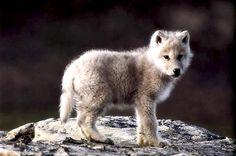 wolfintheforest:    -