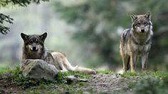Canis lupus - two wolves Monaco, Saint Martin Vesubie, Cap Martin, Cagnes Sur Mer, Cap D Antibes, Wolf, Two Wolves, Juan Les Pins, Emmanuel Macron