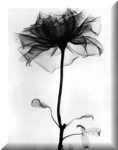 Gothic Black Rose w/ Gothic Blk Ornate Frame byImzat