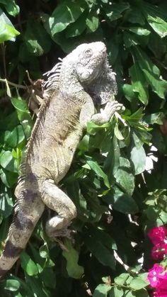 Bezoek bij het zwembad. De leguaan komt even langs.  Happy Turtle Apartments Curacao Happy Turtle, Animals, Animales, Animaux, Animal, Animais