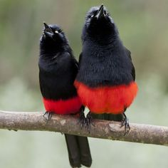 Red Bellied Grackles beautiful amazing