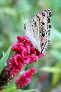 Grey Pansy Butterfly on Cockscomb Flower by Russell John, via Flickr