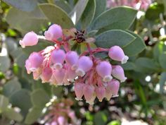 Ericaceae Arctostaphylos pringlei