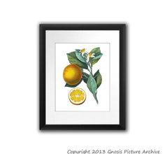Antique Botanical Print Orange Citrus Fruit Engraving No.4 Wall Art Decor Wall Hanging summer time Kitchen Dining room decor 8x10 Art Print