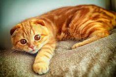 Картинки по запросу рыжие коты