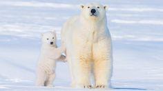 Polar bear (Ursus maritimus) (Credit: Steven Kazlowski/NPL)