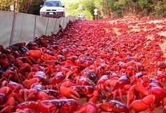 Christmas Island Annually the Christmas Island crabs take an epic trek from rain forest to coast to mate.