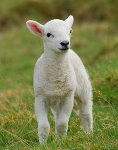 little lamb.  Who could ever eat this?.... I could just not with all that fur and organs