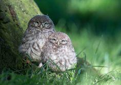 Two little owl chicks Pinned by www.myowlbarn.com