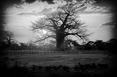 A baobab in Zimbabwe. I'd wanted to see one ever since I first read The Little Prince as a child.