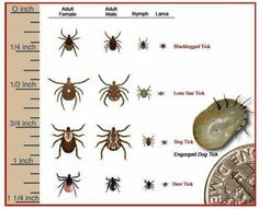 Tick Identification Insects And Other Creepy Crawlies