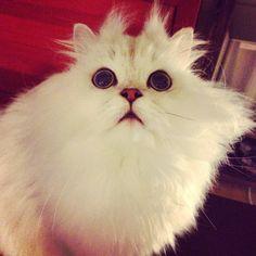 Looking up big eyes#cats #kitten #lovecats #ragdoll #chinchilla #Persian #kitten #meow #lovecat