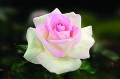 Pink Rose Source by tiashappyplace Exotic Flowers, Amazing Flowers, Love Flowers, Pretty Roses, Beautiful Roses, Rosa Coral, Types Of Roses, Coming Up Roses, Growing Roses