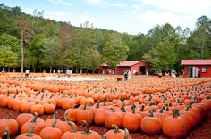 Burt's Farm- pumpkin patch! If you're in GA you have to go here! Greg and I have gone every year to buy pumpkins to carve and their pumpkin bread is AMAZING!! We'll miss going this year :(
