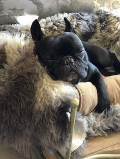 French Bulldog Blue Find Out More On The Adaptable French Bulldog Dogs Grooming French Bulldog Pictures, French Bulldog Blue, French Bulldog Puppies, French Bulldogs, Frenchie Puppies, Baby Bulldogs, French Blue, English Bulldogs, Cute Puppies