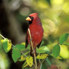 Beautiful image of Illinois state bird, the Cardinal Pretty picture of small red Cardinal Image of colorful Cardinal perched on limb Indiana Love, Indiana Girl, Indiana State, Illinois State, Indiana Bicentennial, Pretty Birds, Beautiful Birds, Beautiful Things, List Of Birds