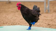 Rooster struts again, thanks to 3D-printed prosthetic feet   CTV News