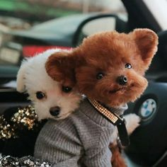 Cute Little Puppies, Teacup Puppies, Cute Dogs And Puppies, Cute Little Animals, Cute Funny Animals, Toy Poodle Puppies, Toy Poodles, Corgi Puppies, Doggies