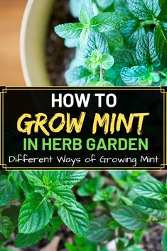 How To Grow Mint In Herb Garden Growing mint isn't difficult. It can be grown from cuttings and seeds, this is the easiest way to make a start growing mint. Learn how to grow mint plant with some sugg Herb Garden Design, Diy Herb Garden, Fruit Garden, Lawn And Garden, Garden Ideas, Garden Gifts, Garden Plants, Hydroponic Gardening, Hydroponics