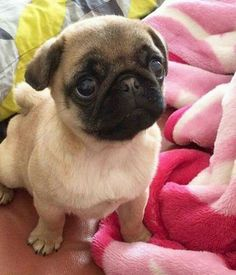 Soulful pug eyes