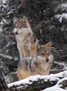 Oh my, I loooove wolves. Look at these beautiful creatures.