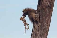 So he snatched the little baboon, twisting away from the lionesses and bringing the baby back to a tree.