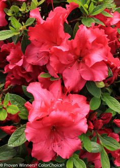 Bloom-A-Thon® Red - Reblooming Azalea - Rhododendron this is the color I want in front of the hosue