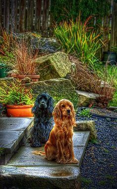 Two Cocker Spaniels posing in a nice yard, by Illa Photography on Flickr