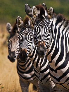 boho-ism:        Four Zebras by mdezemery on Flickr.        Can you spot the fourth?
