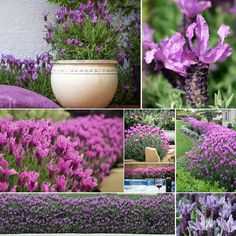 August is a great time to plant lavender! Poppy's has several varieties available such as Lavender Lace, Princess Lavender, Lavender Winter Lace and Violet Lace which all have a range of gorgeous flower colours which are at their peak in winter and into early spring
