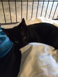 Stanley is an adoptable Domestic Short Hair-black searching for a forever family near Dover, DE. Use Petfinder to find adoptable pets in your area.