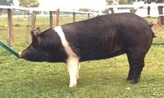 The Hampshire At a meeting of American breeders in 1890 the breed was renamed the Hampshire, as the original pigs were imported from a farm in Hampshire, Wessex, UK. A Breed Society was established at the same time and herd book recording can be traced for more than 100 years.