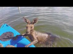 Kangaroo's big day out left him in a canal needing to be rescued