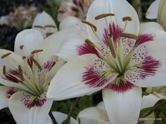 Asiatic Lily 'Centerfold'