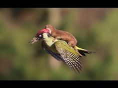 'Weasel Riding On A Bird': Humorous Music Video about the Notorious Photo of a Weasel Riding a Woodpecker - https://magazine.dashburst.com/video/weasel-riding-bird-song-animation/