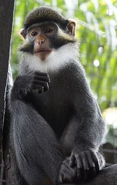 The red-eared guenon (Cercopithecus erythrotis), also known as the russet-eared guenon or red-eared monkey, is a denizen of Africa. This shy primate's restricted range extends from the Cross River in southeastern Nigeria to south of the Sanaga River in Ca Marmoset Monkey, Pygmy Marmoset, Primates, Mammals, Photos Singe, Beautiful Creatures, Animals Beautiful, Monkey Species, Types Of Monkeys