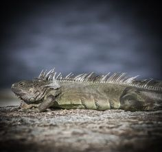 Iguana  Photo by Karen Jacobs Cook -- National Geographic Your Shot