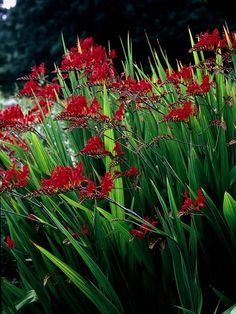 Devilishly Beautiful  Heat-loving, enduring perennials like crocosmia provide effortless color for the summer garden.