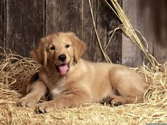 Beautiful Golden Retriever Puppy