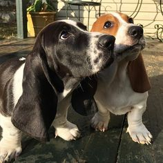 Whippet Puppies, Hound Puppies, Basset Hound Puppy, Baby Puppies, Dogs And Puppies, Really Cute Puppies, I Love Dogs, Cute Dogs, Sweet Dogs