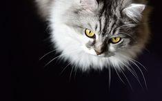 Download wallpapers Siberian cat, pets, gray cat, cute fluffy cats