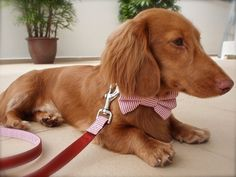 bowtie dog collar by Chloe's Collars