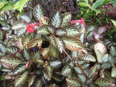 Episcia cupreata - Flame Violet