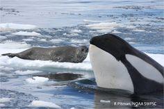 killer whales   Antarctic killer whales appear to rejuvenate skin in tropics   Earth ...