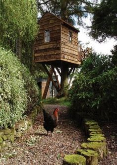 Tree House & A Chicken