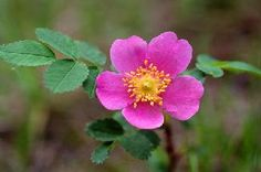 Douglas Leighton Canadian Rockies Photographer  Wild Rose (DL02026) sowing seeds today brought back from Canada