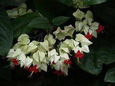 Clerodendrum thomsoniae...Bleeding Heart Vine